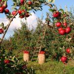Posao u Nemačkoj BEZ EU PASOŠA – BEZ ZNANJA JEZIKA !!! Dnevnica 125 EVRA !!! Branje jabuka – oba pola
