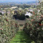 POSLOVI U NEMACKOJ – POSAO U VOCNJAKU – Potrebni ljudi za rad u voćnjaku – BRANJE TREŠANJA, ŠLJIVA I JABUKA