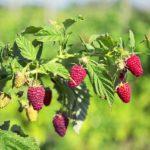 POSAO U SLOVACKOJ – POSAO BRANJE VOCA  – Beru se jagode, trešnje, breskve, šljive, maline, jabuke, grožđe – SVI PASOŠI !!!