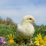 POSAO NA FARMI U INOSTRANSTVU – Potrebni POMOĆNI RADNICI za rad na farmi