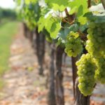 Posao poljoprivreda inostranstvo – Rad u vinogradu – BESPLATAN SMEŠTAJ