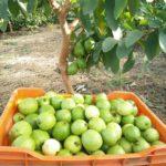 SEZONSKI POSLOVI U INOSTRANSTVU BEZ EU PASOSA !!! branje voća – 700 -1300 eur. – oba pola