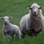 Posao na FARMI OVACA u inostranstvu – Obezbeđena radna dozvola, smeštaj, hrana
