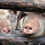 POSAO NA FARMI NEMAČKA – Potreban radnik za rad na farmi svinja – znanje stranog jezika nije neophodno