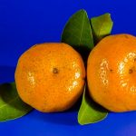SEZONSKI POSLOVI U INOSTRANSTVU – Potreban veci broj radnika za branje i sortiranje mandarina